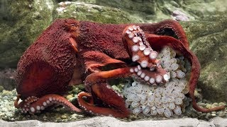 Amazing Mommy Octopus Has Thousands Of Babies- Wild Animal Giving Birth