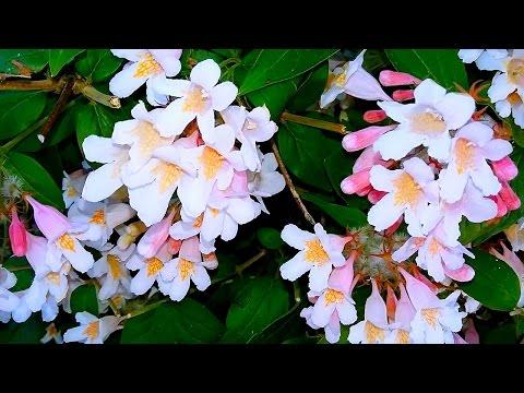 Кольквиция. Красивые Цветы Видео. Кольквиция Видео. Цветы Кольквиции. Футажи для видеомонтажа