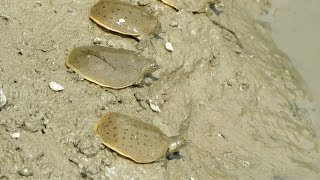 Releasing Spiny Softshell Turtle Hatchlings!