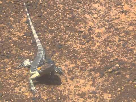 stokes dr. frill neck lizard.MP4