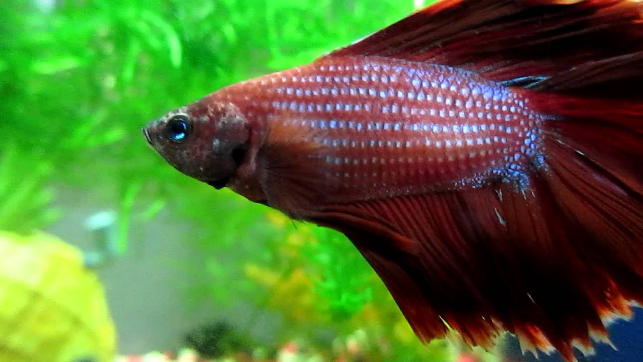 Tau - My Betta fish close up HD - YouTube