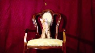 котёнок мейн кун Аккорд