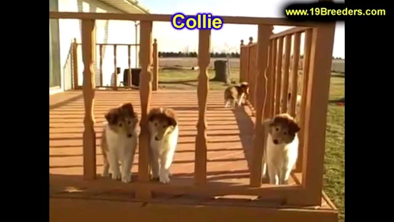 Collie, Puppies, For, Sale, In, Louisville,County, Kentucky, KY