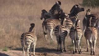 Zebras fighting in Clarendon Open Area