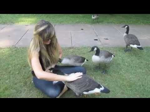 'Growing Up Gosling' - My 6 Months Befriending a Family of Wild Canada Geese & Goslings