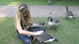 """Growing Up Gosling"" - My 6 Months Befriending a Family of Wild Canada Geese & Goslings"