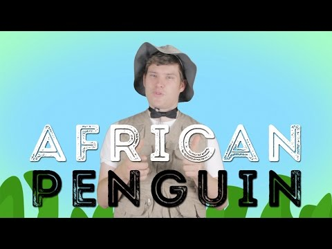 Animal of the Week: African Penguins