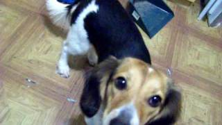 Nomie: The Beagle & Dachshund Mix