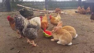 Kogut i króliki