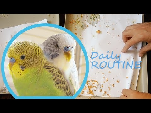 More Budgies More Work - Budgie daily Routine