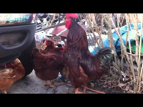 Rhode Island Red Rooster Crowing With His Hens