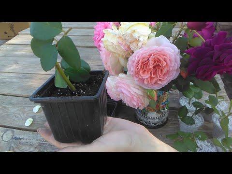 Черенкование роз в домашних условиях осенью