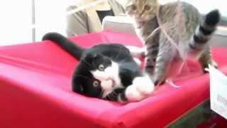 Шотландские Вислоухие Котята, Скоттиш Фолд, Породы кошек