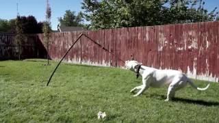 Tether Tug Dogo Argentino 1