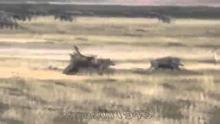 реальная Африка  лев охотится на бородавочников