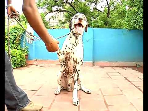 Dalmation Dog training