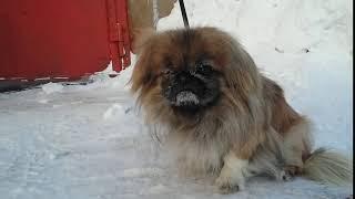 Пикинес холодно ему   Pekingese is cold to him