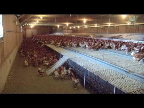 Qu'est-ce qu'un élevage biologique de pondeuses en libre parcours? vidéo