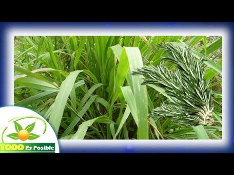 Plantas medicinales el limoncillo o la limonaria for Planta decorativa propiedades medicinales