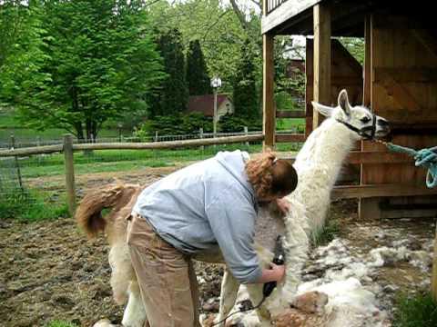 Llama Shearing Demo