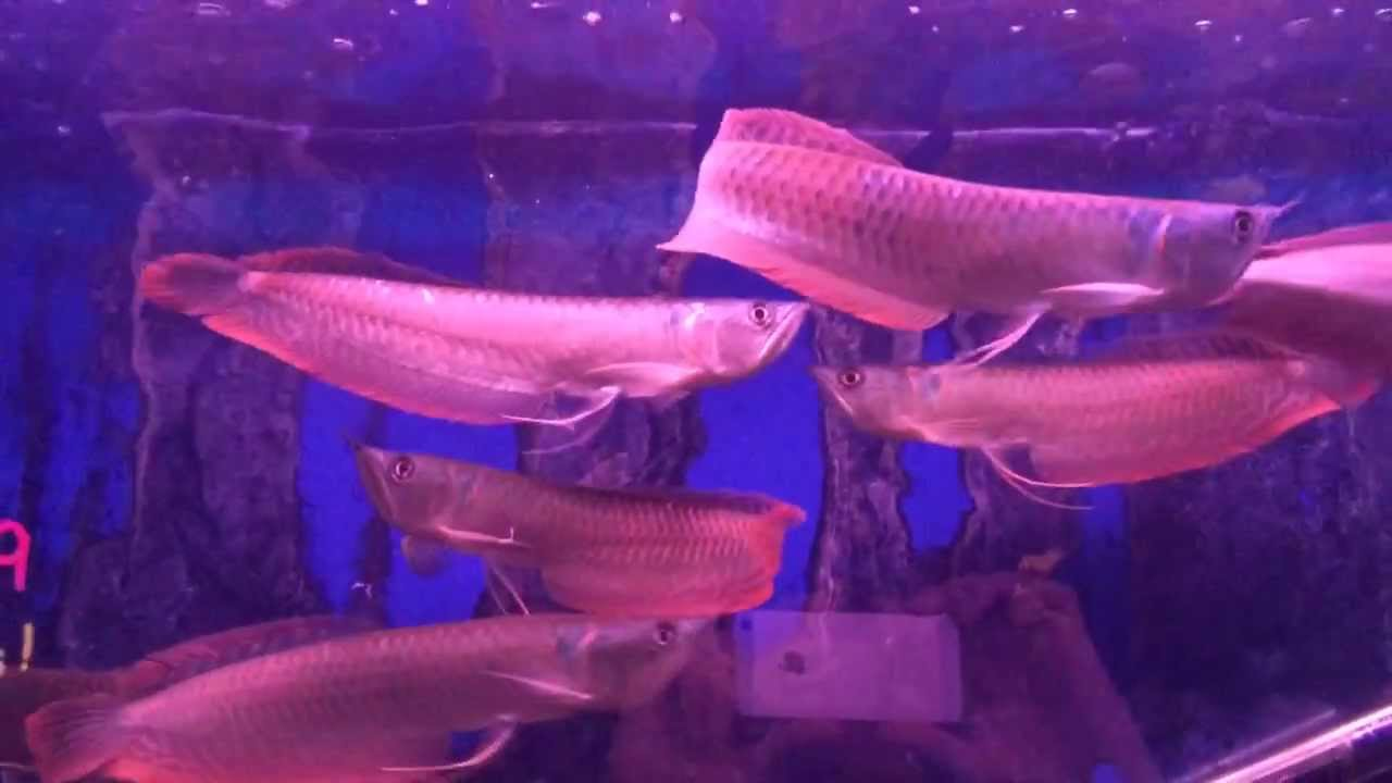 Arowanas Galore How To Care For Jardini Silver And Black Youtube
