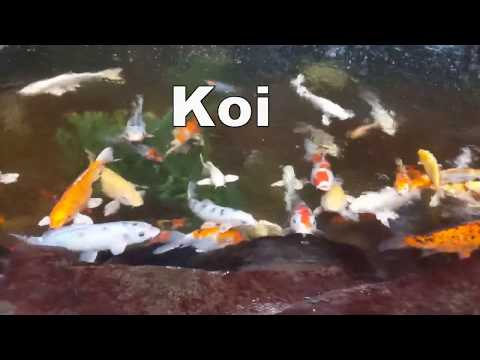 10 Fun Facts About Koi Fish