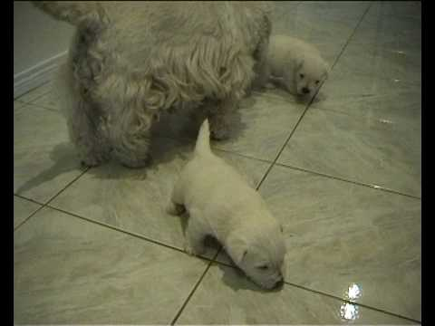 Chubby Puppy On A Slippery Floor Youtube
