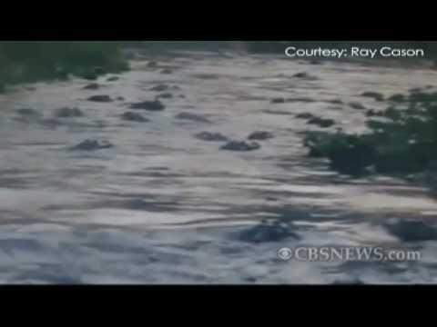 Alligator Feeding Frenzy Caught on Tape