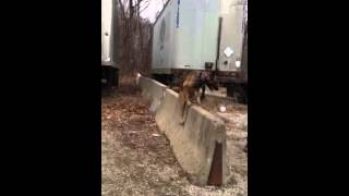 Advanced Malinois Showing Off His Expert Placing! Dog Training In Northern Virginia