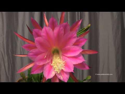 Epiphyllum bloom TimeLapse aka Brahma Kamal (ಬ್ರಹ್ಮ ಕಮಲ್) ब्रह्म कमल