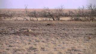 MNWR Prairie Dogs