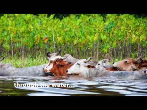 The Swimming Cows of Marais de Kaw, French Guiana