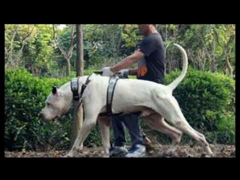 Powerfull Indian dog breeds in tamil