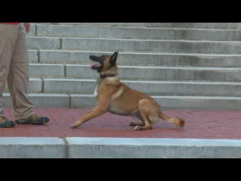 Malinois Male 'Ken' Obedience Trained Super Dog Fun Obedient Dog For Sale