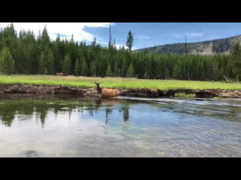 Yellowstone Elk Encounter while fly fishing