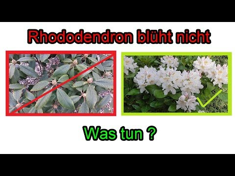 rhododendron bl ht nicht was tun ursachen pflege schneiden d ngen youtube. Black Bedroom Furniture Sets. Home Design Ideas