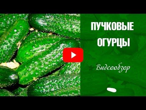 Пучковые огурцы выращивание 🌟 Лучшие сорта огурцов ❗ Обзор семян