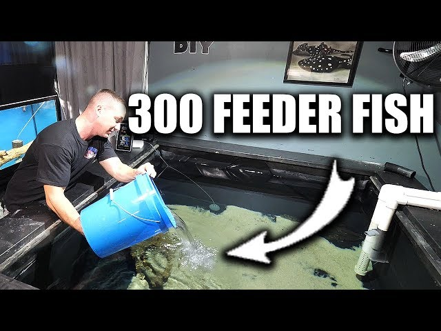 FEEDING THE PREDATOR FISH POND