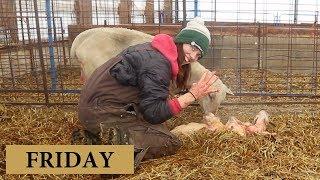 7 Days of Lambing (FRIDAY): Vlog 132