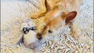 Cute Funny Dog Attacks and Plays with Owl Stuffy Toy