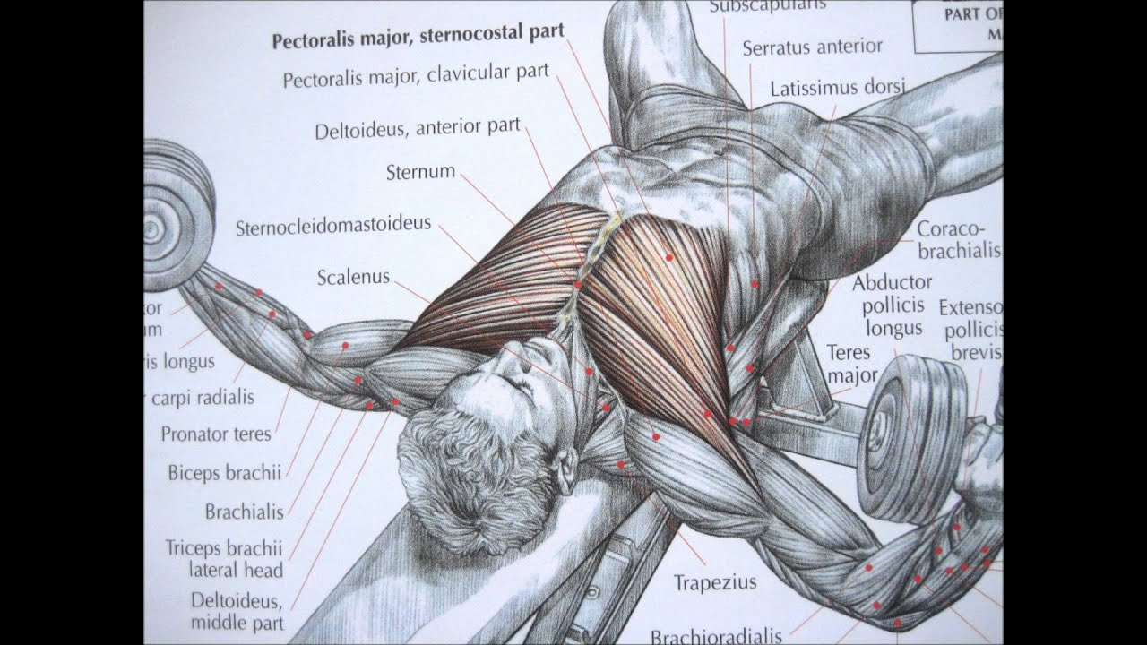 Bodybuilding chest exercise and anatomy - YouTube