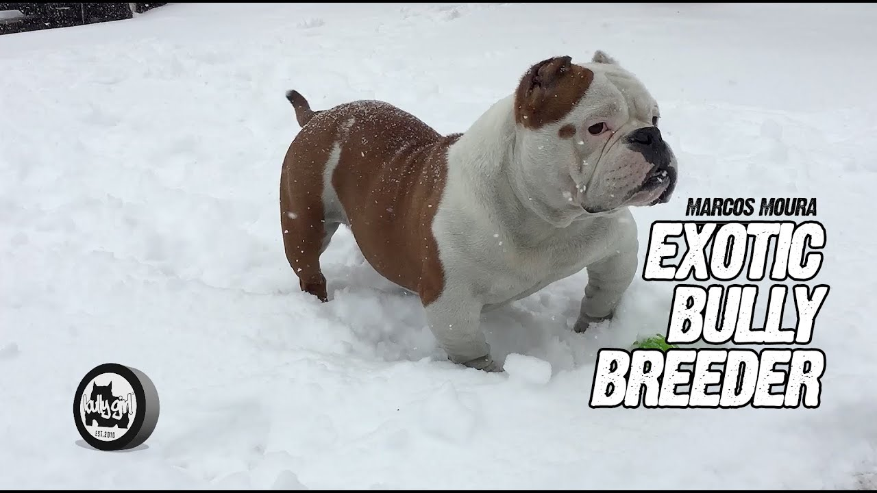 Exotic Bully Breeder Marcos Moura Youtube