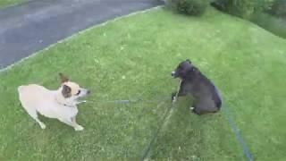 Собаки бесятся на прогулке