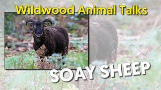 Wildwood Soay Sheep Talk