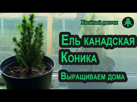 Что делать с живой новогодней ёлкой Коника с магазина-после праздников и как сохранить её до весны!