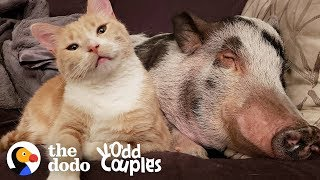 Watch This Pig Became The Big Brother Of Two Cats | The Dodo Odd Couples