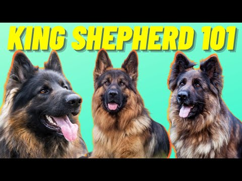 King Shepherd Facts - Top 10 Facts About the Mighty King Shepherd