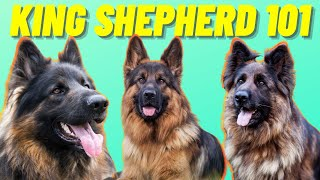 King Shepherd Facts  Top 10 Facts About the Mighty King Shepherd