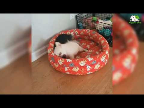 Chiweenie - Chihuahua Dachshund Mix Dogs