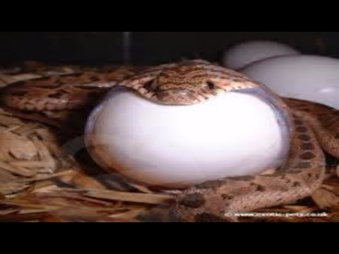 poisonous-snakes-give-birth-larger-than-eggs